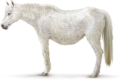 A horse with Cushing's, with a long, curly coat, dipped back, and rounded abdomen.