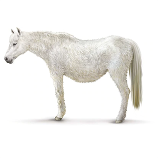 Drawing of a white horse with cushings disease