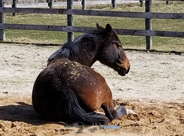 Horse laying down on the ground