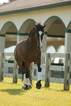 Bay horse trotting in turnout.