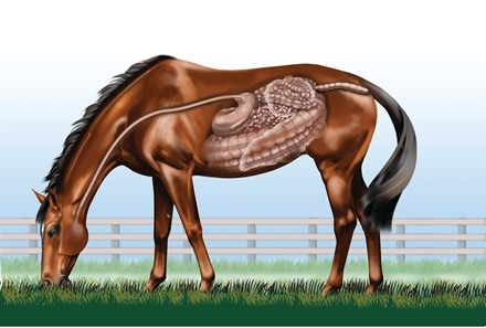 Diagnphram of a horse, showing the internal organs and structures of the digestive tract.