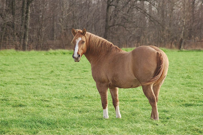 A chestnut colored horse in a lush, green grass pasture.