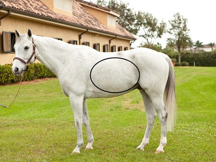 The horse's diaphragm is where Thumps can be seen, felt, or heard.