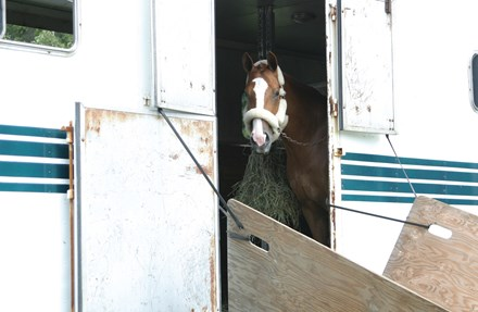 A horse looking out of it's trailer.