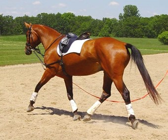 Bay horse being lunged.