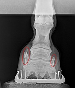 This X-ray shows a horse's foot, with Sidebones present on both sides of the coffin bone