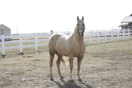 A muscled palomino horse standing in field.