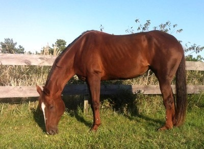 A chestnut horse with DSLD grazing in pasture.