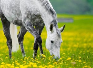 Grey colored horse eating grass.