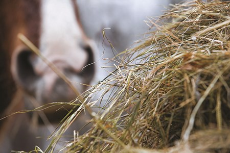 A close-up view of long stemmed hay, with a horse's nose in the background.