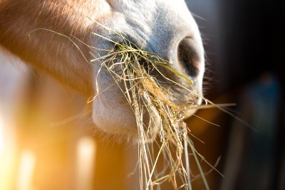 Closeup of horse's muzzle with mouthful of hay.