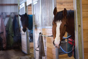 Bay horse standing with head and neck outside of stall door.