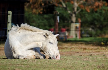 Grey horse laying down sleeping in green pasture.