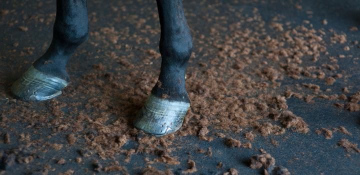 Black horse legs with clipped hair on ground below.