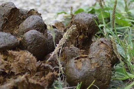 Horse fecal balls or manure in a pasture.