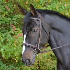 Black Oak Spruce Bridle